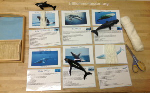 How Long is the Whale? Trillium Montessori