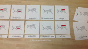 Parts of a Grasshopper at Trillium Montessori