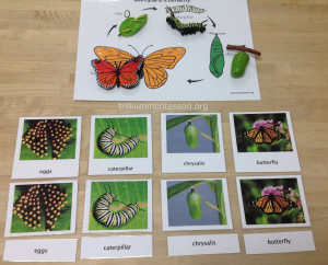 Life Cycle of a Butterfly at Trillium Montessori