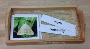Sorting Moths and Butterflies at Trillium Montessori
