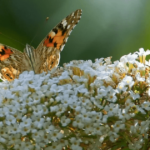 Painted Lady Butterflies unit