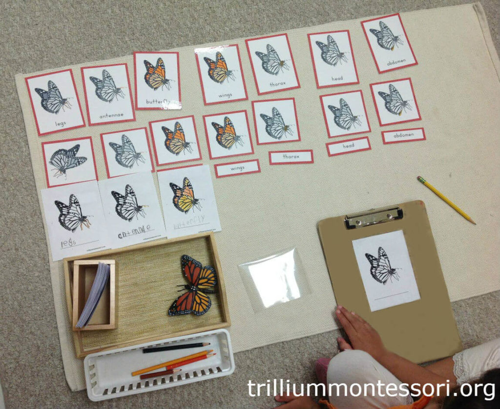 Painted Lady Butterflies Trillium Montessori