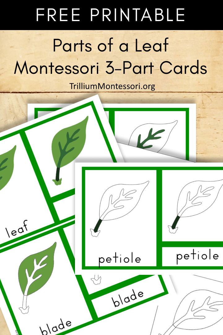 Free Printable parts of a leaf Montessori 3 part cards