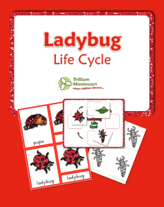 Life Cycle of a Ladybug or Ladybird