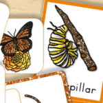Free Printable Life Cycle of a Butterfly