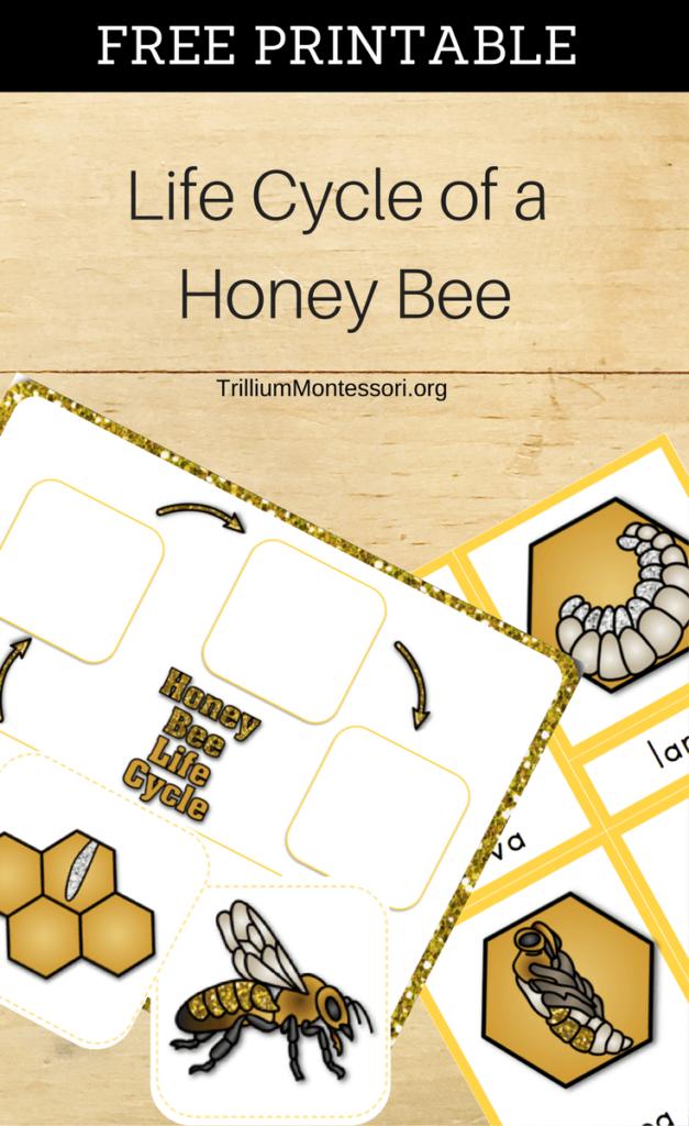 Free Printable Life Cycle of a Honeybee