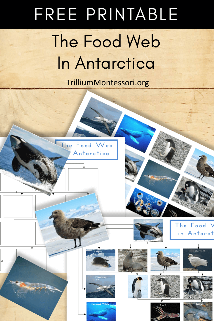 Free Printable The Food Web of Antarctica