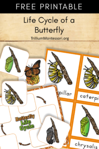 Free Printable life cycle of a butterlfy