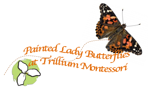 Painted Lady Butterflies at Trillium Montessori