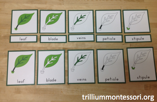 Parts of a Leaf Cards