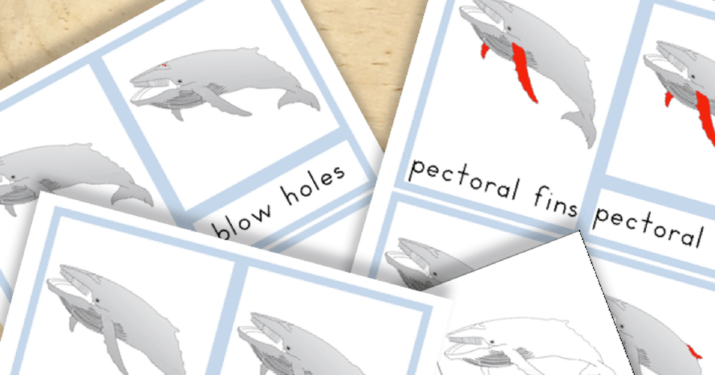 Free Montessori Printable Parts of a Baleen Whale