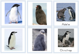 Penguins and Chicks