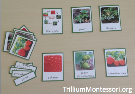 Life Cycle of a Strawberry 3 Part Cards