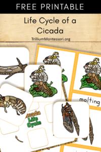 Free Printable life cycle of a cicada