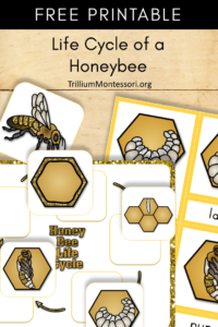 Free Printable life cycle of a honey bee