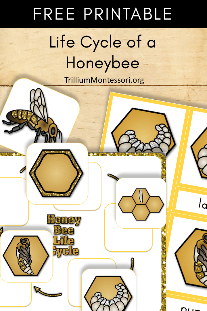 Free Printable: Life Cycle of a Honey Bee - Trillium Montessori