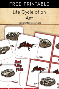 Free Printable life cycle of an ant