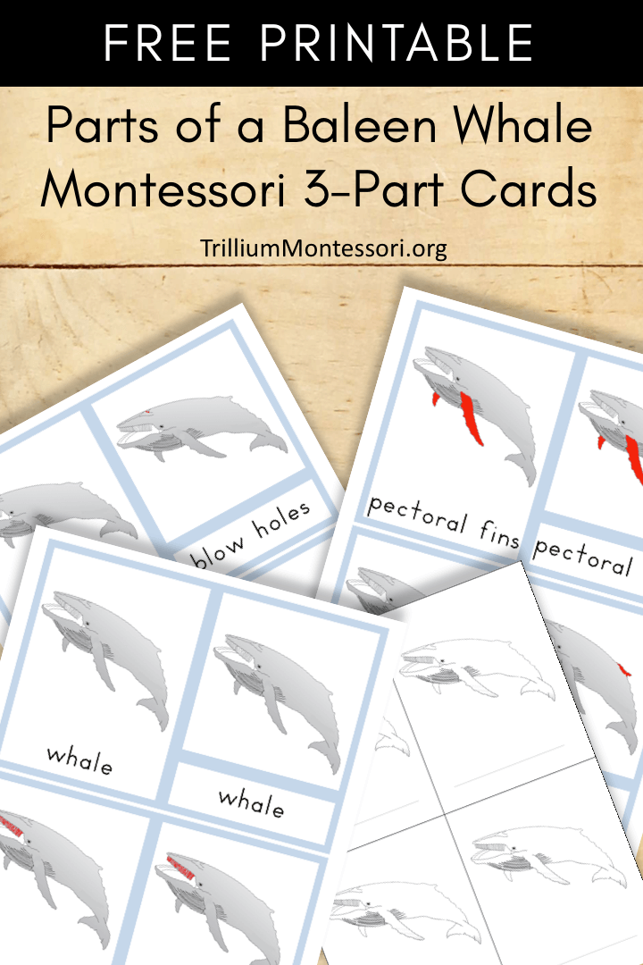 Free Printable parts of a baleen whale