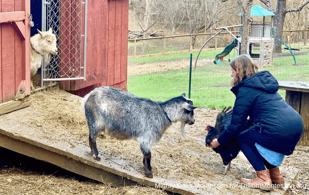 Miniature Goats at Mighty Oaks Montessori in Asheville, NC